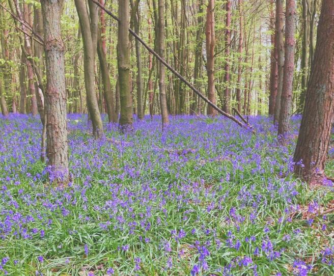 Bluebells at Badby, Daventry